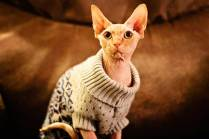 Cat-in-knitted-sweater